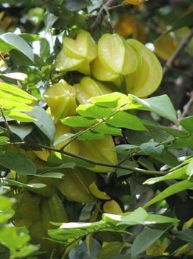 Star fruit: Bursting with vitamins   Healthy   Scoop.it