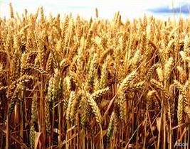 L'Egypte obtient des facilités de paiement pour importer son blé   Égypt-actus   Scoop.it