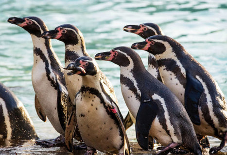 How the Penguin Got Its Waddle - The New Yorker | Antarctica | Scoop.it