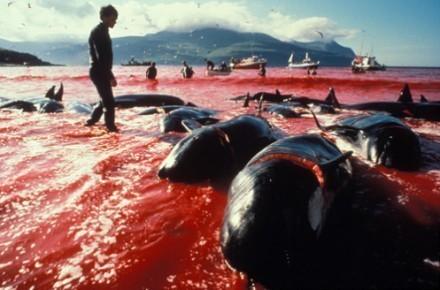 Japon - La baie de la honte: ouverture officielle de la chasse aux dauphins à Taiji | earthmergency | Scoop.it