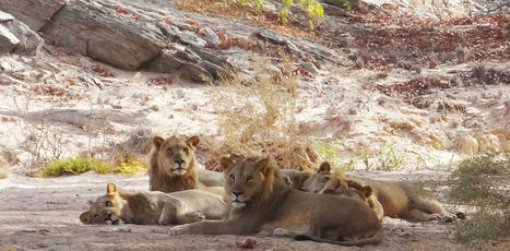 Three of Namibia's most famous lion family have been poisoned –why? | Wildlife News | Scoop.it