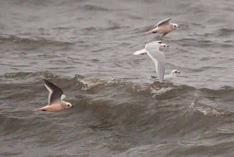 Breakthrough: Wintering grounds of Ross's Gull revealed at last - BirdWatching | Mes passions natures | Scoop.it