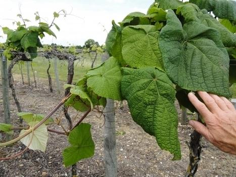 INRA - CRG Vitis | vin et vinification, dernières avancées | Scoop.it
