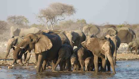 Les éléphants, une société organisée comme la mafia - National Geographic | Afrique: développement durable et environnement | Scoop.it