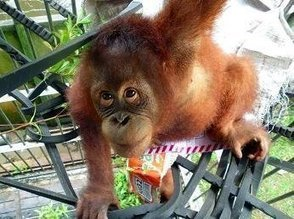This Baby Orangutan's Story Illustrates The Best And The Worst Of Human Nature   animals and prosocial capacities   Scoop.it