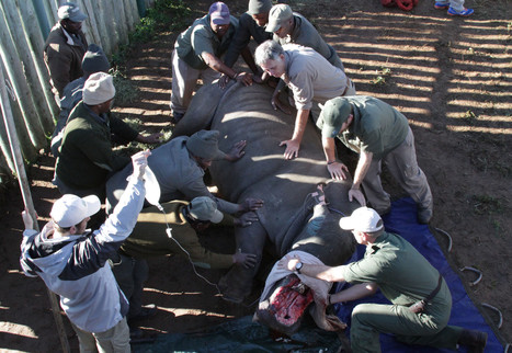 VIDEO: Vets operate on Hope the rhino attacked by poachers | What's Happening to Africa's Rhino? | Scoop.it