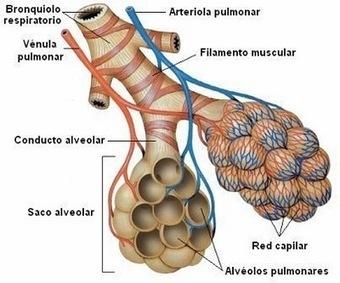 CIENCIAS BIOLOGICAS: ANATOMIA Y FISIOLOGIA DEL SISTEMA RESPIRATORIO | BIOLOGIA | Scoop.it