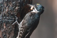 Dead trees, biodiversity, and the black-backed woodpecker - High Country News | 100 Acre Wood | Scoop.it