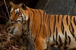 Tiger Mom Dotes Over Her Four Cubs | Digital-News on Scoop.it today | Scoop.it
