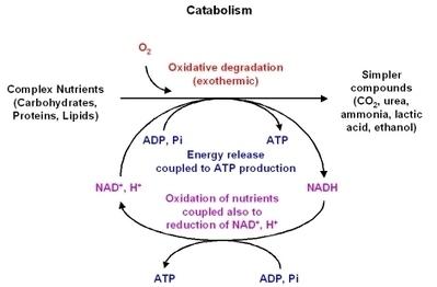 Metabolism - ChemWiki | Biochemistry | Scoop.it