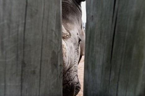 Battle ground for rhino trade | What's Happening to Africa's Rhino? | Scoop.it