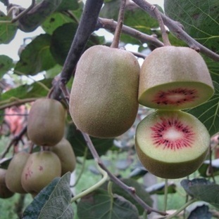 FreshFruitPortal.com » Researchers sequence draft kiwifruit genome | Fruits & légumes à l'international | Scoop.it