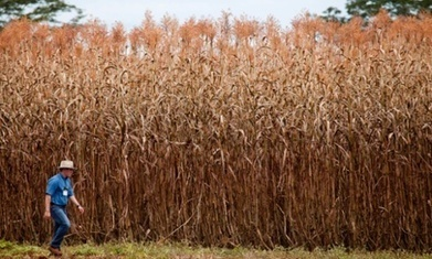 New energy-rich sorghum offers ethanol without the corn | Biorenewable Chemicals & Plastics | Scoop.it
