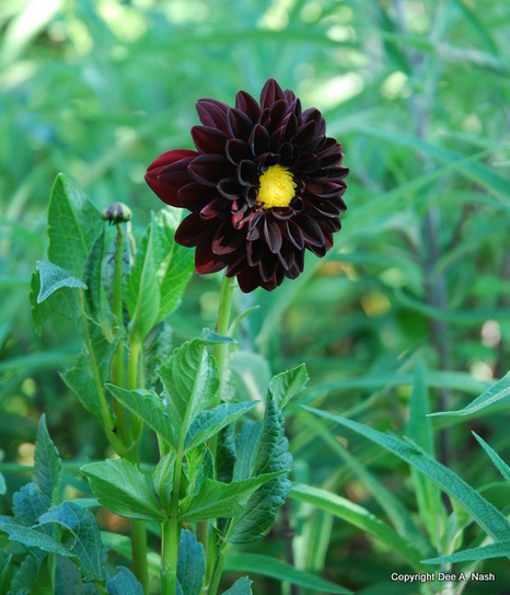 Growing dahlias and other summer bulbs--Red Dirt Ramblings | Annie Haven | Haven Brand | Scoop.it