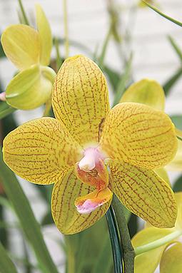 Phalaenopsis híbrida estriada   Orquídeas   Scoop.it