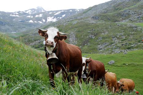 Jura : un troupeau de bovins saute dans le vide - RTL.fr | Filière élevage et viande | Scoop.it