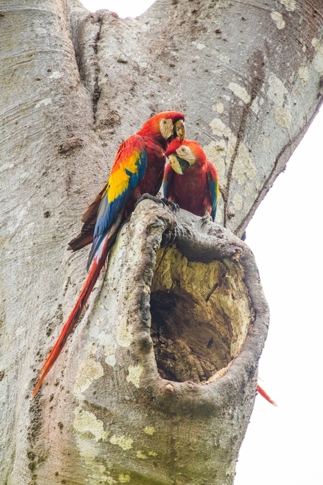 Rest in Peace (RIP) Scarlet Macaws | Bird Watching & Conservation In Belize | Scoop.it