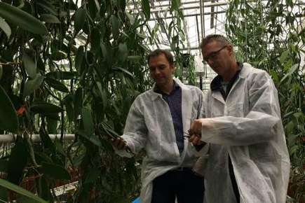 Vanilla and spice next to bloom in Dutch greenhouses. | F&FNews | Scoop.it