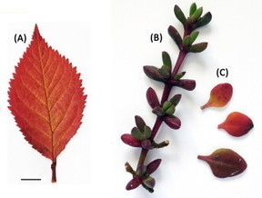 Are betalain pigments the functional homologues of anthocyanins in plants? | plant cell genetics | Scoop.it