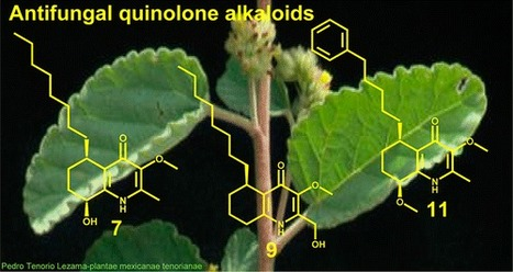 Antifungal Quinoline Alkaloids from Waltheria indica - Journal of Natural Products (ACS Publications) | Natural Products Chemistry Breaking News | Scoop.it