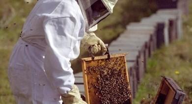 Praga de vespas asiáticas ameaça setor apícola | A4 | Scoop.it