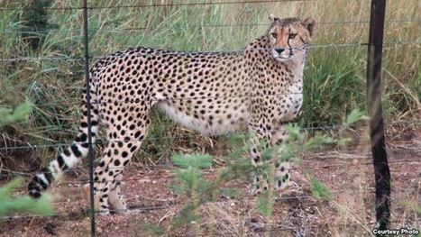 Study: Cheetah Population Dwindling | conservation & antipoaching | Scoop.it