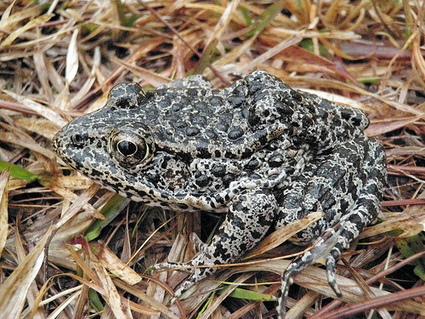 USDA Blog » Endangered Mississippi Frog Finds a New Home   Environmental & Business   Scoop.it