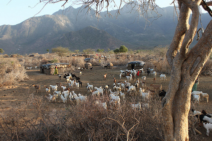 First insurance for pastoralist herders in Kenya now available in Isiolo and Wajir   Sustainable Livestock development   Scoop.it