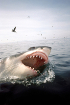 Carcharodon carcharias (Great White Shark)   Great White Sharks   Scoop.it