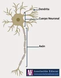 Artículo Neurociencias: Neuroplasticidad y Redes Hebbianas | Neurociencias y educación | Scoop.it
