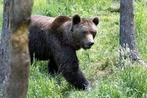 Le nombre des ours a augmenté dans les Pyrénées | Nature insolite | Scoop.it