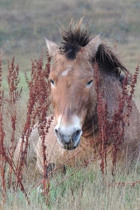 Llegaron los caballos salvajes a Atapuerca - Diario de Ávila | Animales en peligro de Extinción | Scoop.it