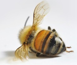 You Are Right Behind Bees! 31% U.S. Honey Bees Were Wiped Out This Year – Who Will Pollinate Our Crops? - | News You Can Use - NO PINKSLIME | Scoop.it