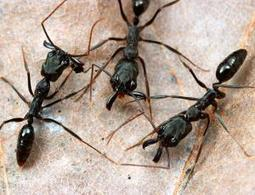 Zoologger: The Michael Phelps of the ant world | Social Foraging | Scoop.it