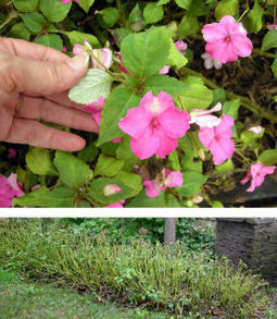 Gardening: Is the golden age of impatiens over? - Daily Herald | Container-a-Gogo | Scoop.it