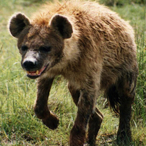 Human Hair Confirmed in Prehistoric Hyena Faeces | Archaeology News | Scoop.it