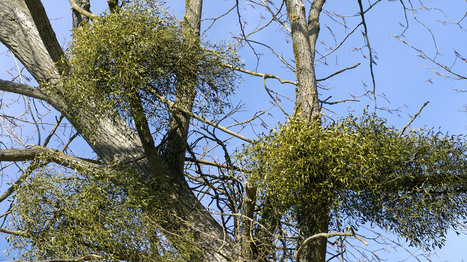 Birds Hang Around Mistletoe For More Than A Kiss : NPR | Birding in Australia | Scoop.it
