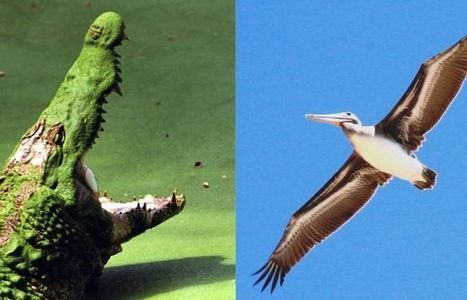 New Genome Research Illuminates Bird, Crocodile Evolution | UANews | CALS in the News | Scoop.it