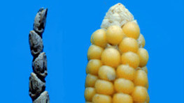 Small Genetic Change Yields Edible Maize | Virology News | Scoop.it
