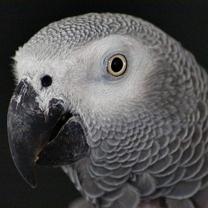 Would A Parrot Be A Reliable Murder Witness? | Criminology, Forensic Science, Criminal Offending and Rehabilitation | Scoop.it