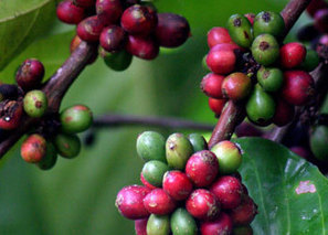 COFUPRO | IICA and GIZ support Costa Rican initiative designed to reduce emissions caused by the coffee industry | Coffee Market | Scoop.it