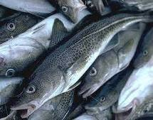 Northern Cod population is finally recovering - Aquaculture Directory | Aquaculture Directory | Scoop.it