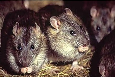 Isles of Scilly rats to be wiped out to protect birds | interesting-things2me | Scoop.it