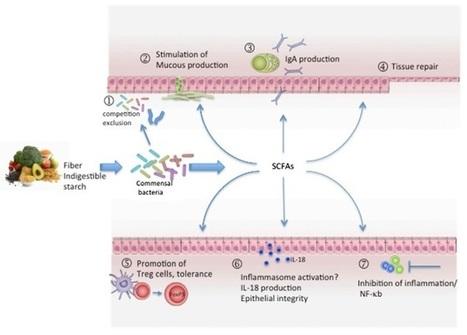 Dietary fiber, SCFAs, and Mechanisms of Gut Homeostasis   EmpoweringPeople   Scoop.it