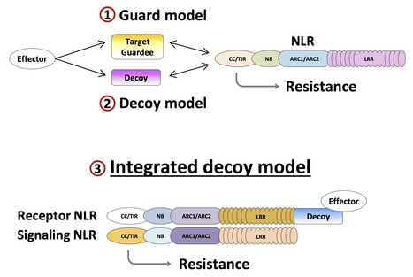 Frontiers: A novel conserved mechanism for plant NLR protein pairs: the 'integrated decoy' hypothesis (2014) | Plant and their microbe symbionts | Scoop.it