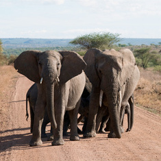 Why Elephant Poachers Love the Federal Budget Sequester | Wildlife Trafficking: Who Does it? Allows it? | Scoop.it