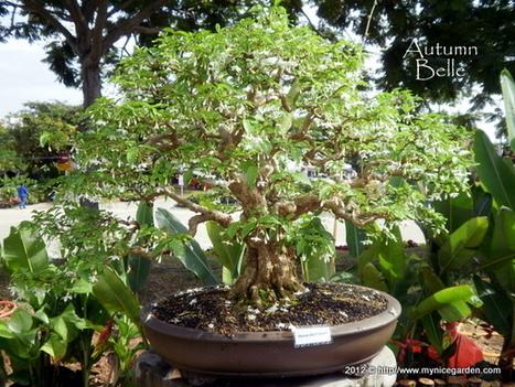 My Nice Garden: Wrightia religiosa Bonsai - Santalia, Melati, Jeliti, Anting Putri, Water Plum Jasmine | Cool Sites I love | Scoop.it