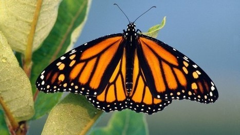 Monarch butterfly studies tell a perplexing tale - Science (2015) | Ag Biotech News | Scoop.it