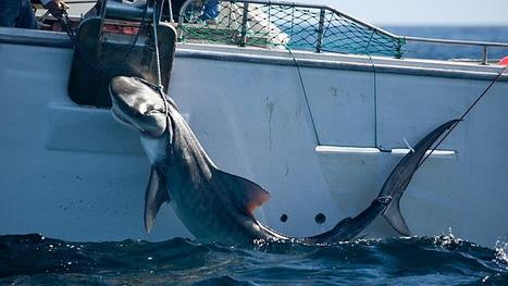 #Sharks are #entitled to their #domain | Rescue our Ocean's & it's species from Man's Pollution! | Scoop.it