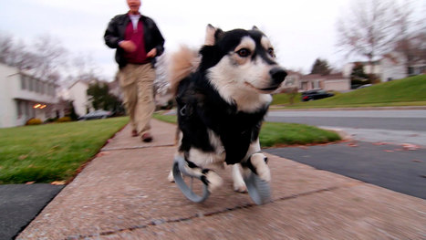 Injured Animals Get Second Chance With 3-D Printed Limbs | 3D Printing and Fabbing | Scoop.it